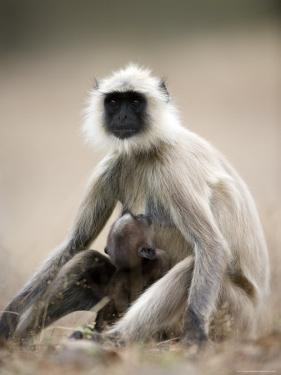 Hanuman Langur (Presbytis Entellus), Bandhavgarh National Park, Madhya Pradesh State, India by Thorsten Milse