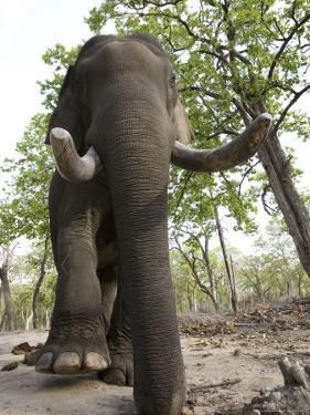 Indian Elephant (Elephus Maximus), Bandhavgarh National Park, Madhya Pradesh State, India, Asia by Thorsten Milse
