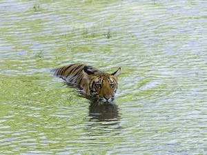 Indian Tiger, Bandhavgarh National Park, Madhya Pradesh State, India by Thorsten Milse