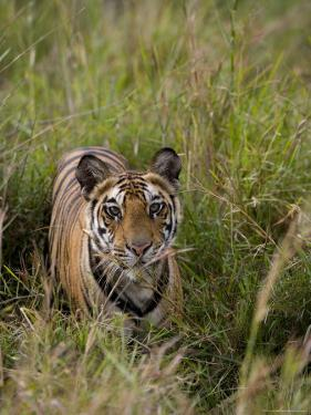 Indian Tiger, Bandhavgarh National Park, Madhya Pradesh State, India by Thorsten Milse