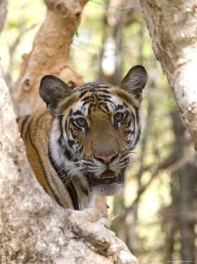 Indian Tiger (Bengal Tiger) (Panthera Tigris Tigris), Bandhavgarh National Park, India by Thorsten Milse