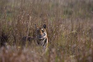 Indian Tiger, (Bengal Tiger) (Panthera Tigris Tigris), Bandhavgarh National Park by Thorsten Milse
