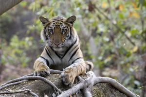 Indian Tiger, (Bengal Tiger) (Panthera Tigris Tigris), Bandhavgarh National Park by Thorsten Milse