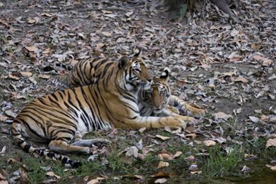Indian Tigress, (Bengal Tiger) (Panthera Tigris Tigris) with Her Cub, Bandhavgarh National Park by Thorsten Milse