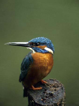 Kingfisher, (Alcedo Atthis), Nrw, Bielefeld, Germany