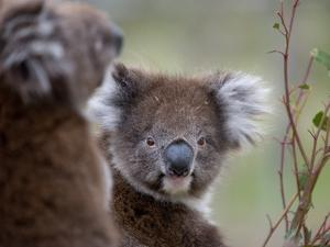 Koala (Phascolarctos Cinereus), in a Eucalyptus Tree, Yanchep National Park, Australia by Thorsten Milse