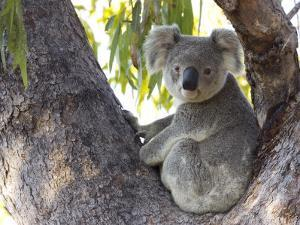 Koala (Phascolartos Cinereus), Magnetic Island, Queensland, Australia by Thorsten Milse