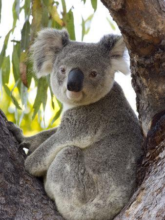 Koala, (Phascolartos Cinereus), Magnetic Island, Queensland, Australia