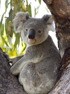Koala, (Phascolartos Cinereus), Magnetic Island, Queensland, Australia by Thorsten Milse