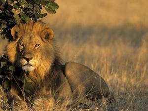 Lion, Panthera Leo, Chobe National Park, Savuti, Botswana, Africa by Thorsten Milse