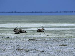 Oryx, Gemsbok, Oryx Gazella, Etosha National Park, Namibia, Africa by Thorsten Milse