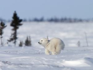 Polar Bear Cub, (Ursus Maritimus), Churchill, Manitoba, Canada by Thorsten Milse