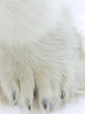 Polar Bear (Ursus Maritimus), Churchill, Hudson Bay, Manitoba, Canada by Thorsten Milse