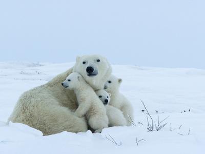 Polar Bear (Ursus Maritimus) Mother with Triplets, Wapusk National Park, Churchill, Manitoba