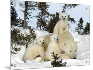 Polar Bear (Ursus Maritimus) Mother with Triplets, Wapusk National Park, Churchill, Manitoba by Thorsten Milse