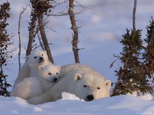 Polar Bear with Cubs, (Ursus Maritimus), Churchill, Manitoba, Canada by Thorsten Milse