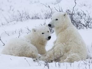 Polar Bears (Ursus Maritimus), Churchill, Hudson Bay, Manitoba, Canada by Thorsten Milse
