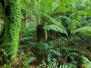 Rainforest, Otway National Park, Victoria, Australia by Thorsten Milse