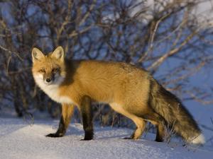 Redfox (Vulpes Vulpes), Churchill, Hudson Bay, Manitoba, Canada by Thorsten Milse