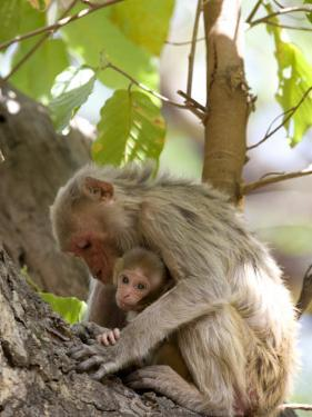 Rhesus Macaque Monkey (Macaca Mulatta), Bandhavgarh National Park, Madhya Pradesh State, India by Thorsten Milse