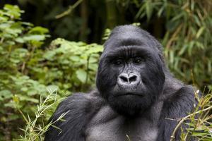 Silverback, Mountain Gorilla (Gorilla Gorilla Beringei), Kongo, Rwanda, Africa by Thorsten Milse