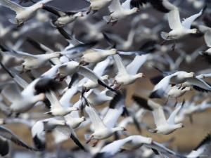 Snow Goose, Anser Caerulescens, Bosque Del Apache, Soccoro, New Mexico, USA by Thorsten Milse