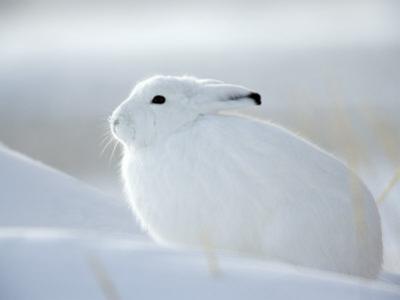Snow Hare (Lepus Americanus), Churchill, Manitoba, Canada by Thorsten Milse