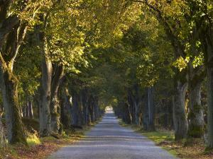 Tree Avenue in Fall, Senne, Nordrhein Westfalen (North Rhine Westphalia), Germany, Europe by Thorsten Milse