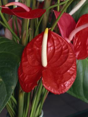 Anthurium, Martinique, West Indies, Caribbean, Central America by Thouvenin Guy