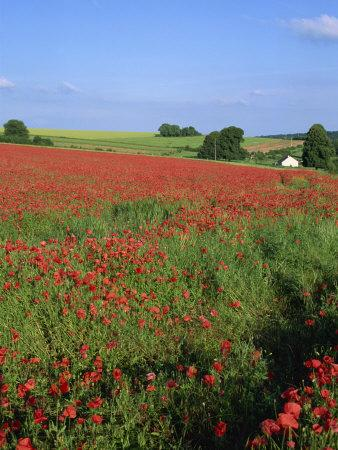 Landscape of a Field of Red Poppies in Flower in Summer, Near Beauvais, Picardie, France