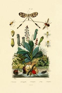 Thread-Winged Antlion, 1833-39