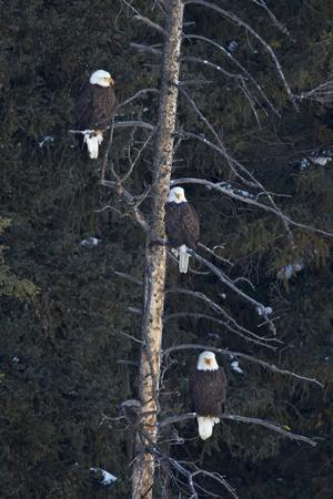 https://imgc.allpostersimages.com/img/posters/three-bald-eagle-haliaeetus-leucocephalus-in-an-evergreen-tree_u-L-PWFEQJ0.jpg?p=0