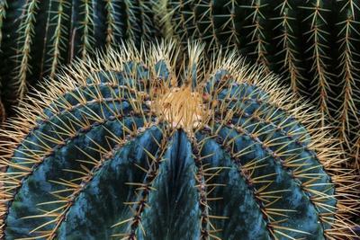 https://imgc.allpostersimages.com/img/posters/three-barrel-cactus_u-L-Q1CR1KM0.jpg?artPerspective=n
