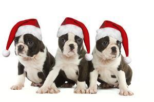 Three Boston Terrier Puppies in Studio Wearing