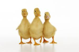 Three Ducklings Stood in a Row