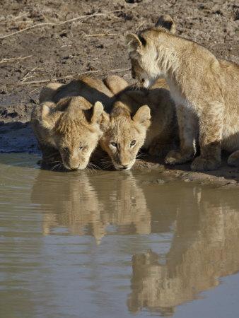 https://imgc.allpostersimages.com/img/posters/three-lion-cubs-drinking-masai-mara-national-reserve-kenya-east-africa-africa_u-L-P91CCV0.jpg?p=0