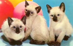 Three Siamese Kittens