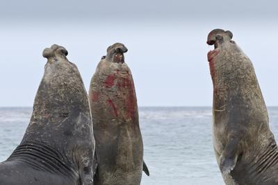 https://imgc.allpostersimages.com/img/posters/three-southern-elephant-seal-mirounga-leonina-bulls-rear-up-whilst-doing-battle_u-L-PQ8M2B0.jpg?artPerspective=n