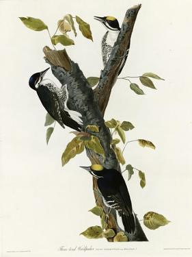 Three Toed Woodpecker