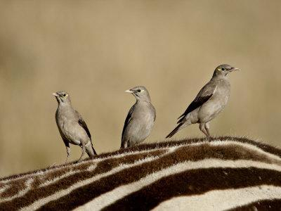 https://imgc.allpostersimages.com/img/posters/three-wattled-starling-on-the-back-of-a-zebra-masai-mara-national-reserve_u-L-P91CDR0.jpg?artPerspective=n