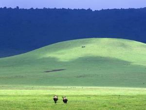 Wildebeest on Grassland in Ngorongoro Crater by Tibor Bogn?r