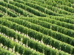 Vines in Vineyard by Tibor Bognár