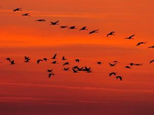 APTOPIX Hungary Migrating Birds by Tibor Olah