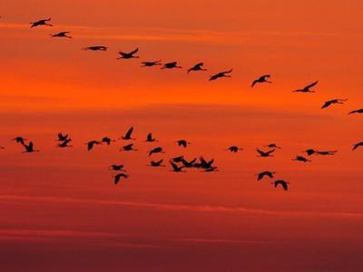 APTOPIX Hungary Migrating Birds