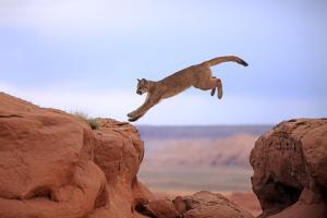 Mountain Lion by Tier Und Naturfotografie J und C Sohns