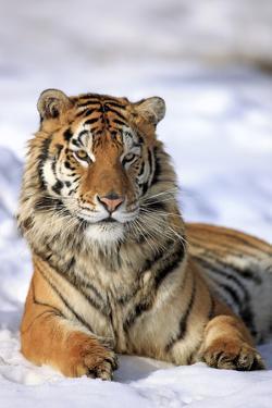 Siberian Tiger (Panthera Tigris Altaica) by Tier Und Naturfotografie J und C Sohns