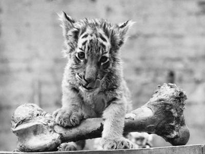 Tiger Cub with Large Bone
