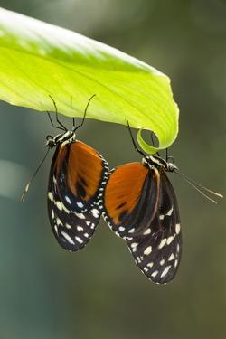 Tiger Longwing Butterfly, Costa Rica