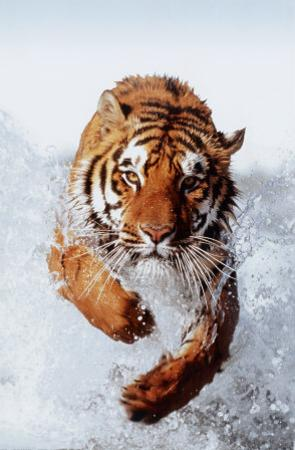 Tiger Running Through Water