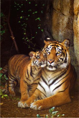 https://imgc.allpostersimages.com/img/posters/tiger-with-cub_u-L-EL6YG0.jpg?artPerspective=n